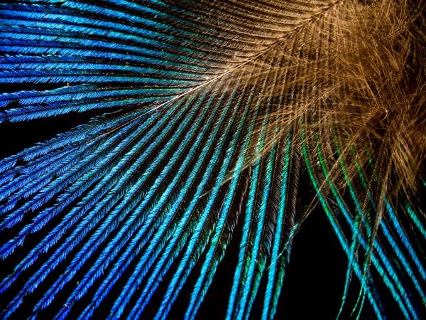 Peří holuba chocholatého - Modré velké křídelní krovky holuba chocholatého, které na světle ožívají jasnými barvami, jsou působivým znakem. Jejich předvádění je nedílnou součástí námluv a je možné, že ptákům pomáhá rozpoznat, zda potenciální partner patří ke stejného druhu.