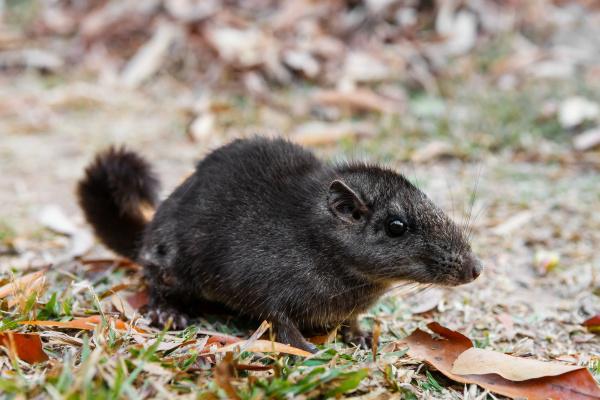 """Tajemný, jedinečný a ohrožený laoš. Jeho české jméno je zkratkou slov """"laoská myš"""". Foto: Miroslav Bobek"""