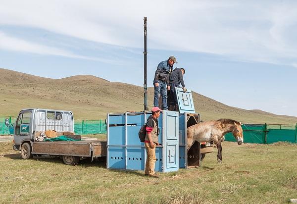 20. května bylo v Khustain Nuruu odchyceno devět koní Převalského a umístěno do nově vybudované ohrady. Čtyři z nich by v následujících dnech měli být přepraveni do Gobi B.