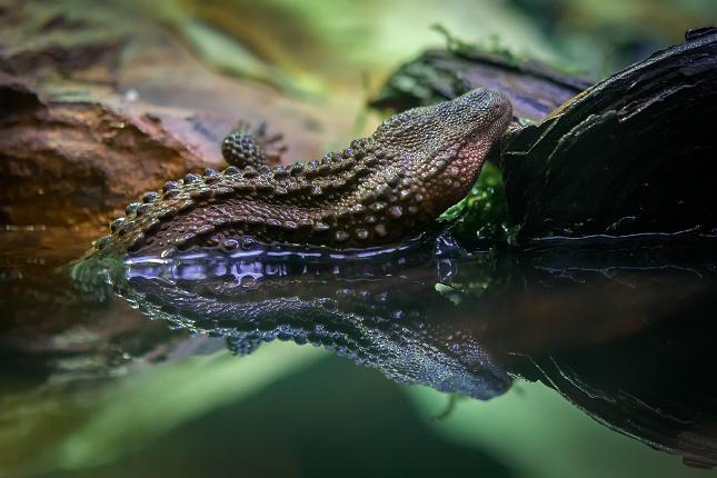 Samička varanovce bornejského, která bude od středy 21. prosince k vidění v nokturnu Indonéské džungle, se vylíhla v roce 2014 a nyní měří 33 cm. Foto Petr Hamerník, Zoo Praha
