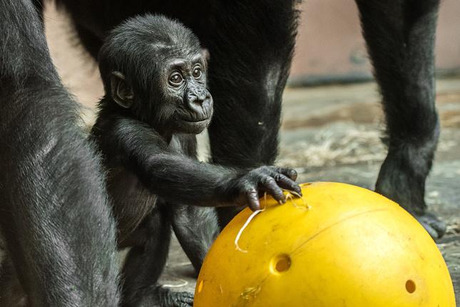 Gorilí sameček Ajabu se nečekaně narodil čtyřiadvacetileté Shindě. Foto Petr Hamerník, Zoo Praha