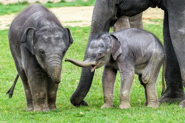 Sloní sameček Rudolf ve věku tří týdnů společně se starším Maxem. Foto Petr Hamerník, Zoo Praha