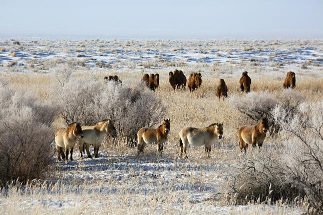 Běloskvoucí sníh, slunce, modrá obloha, mráz až -35 stupňů - a uprostřed toho všeho koně Převalského. Vlevo jsou na snímku Bayan a Gretel, které jsme do Gobi přivezli v roce 2013. Foto Miroslav Bobek, Zoo Praha