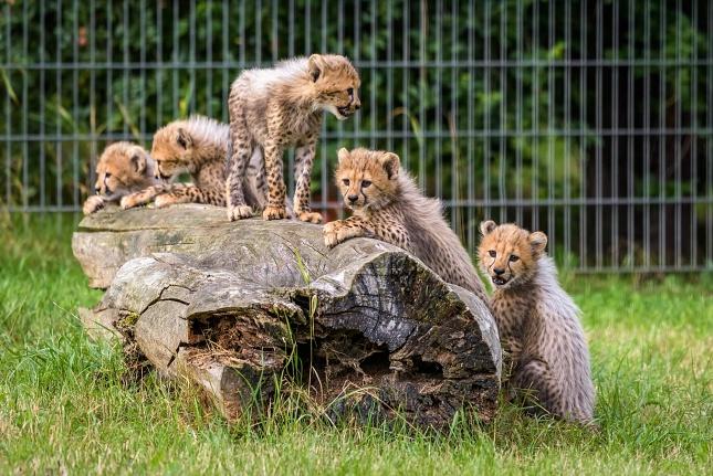 Gepardí paterčata  byla pokřtěna 26. srpna. Dostala jména Sid, Sam, Solo, Jessi a Jenny. Foto Petr Hamerník