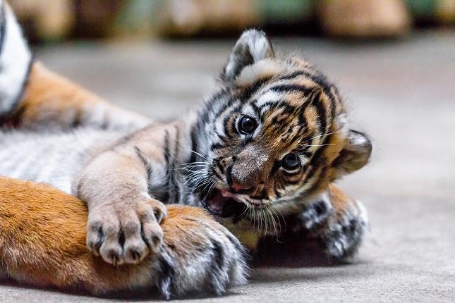 Samička tygra malajského Wanita ve věku šesti týdnů. Foto Miroslav Bobek
