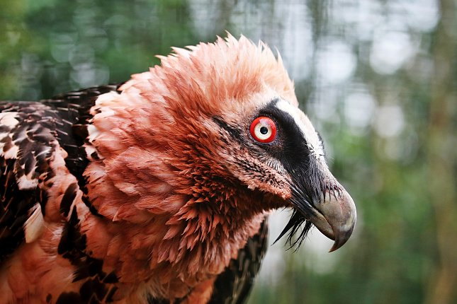 Orlosup bradatý Pablo žije v Zoo Praha od března 1971. Foto Miroslav Bobek