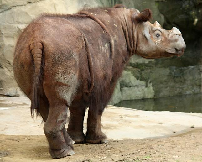 Nosorožec sumaterský v Cincinnati Zoo.