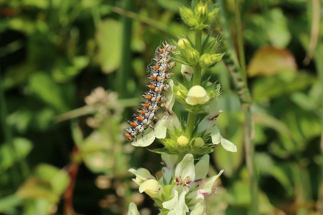 Housenka hnědáska květelového na živné rostlině, v tomto případě na čistci. Foto -mb-