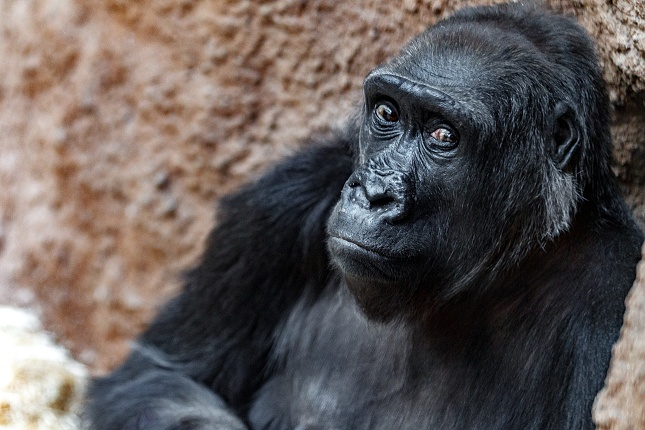 Kamba pochází z volné přírody. Je jí 46 let.