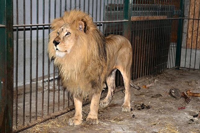 Tento lev, který byl držen v naprosto neadekvátních podmínkách, podle dostupných informací již uhynul. Foto archív