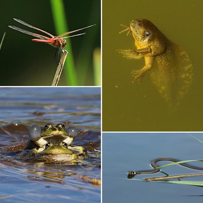 Vlevo vážka jarní a skokani skřehotaví v souboji, vpravo pulec blatnice skvrnité a užovka obojková.