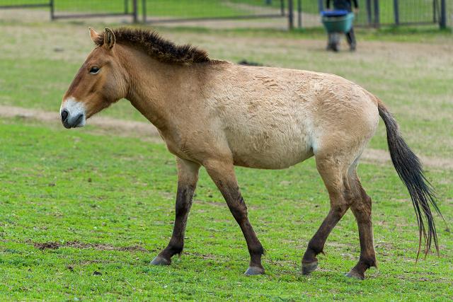 Tara se narodila 18. 5. 2015 v Dolním Dobřejově, tedy přímo v aklimatizační stanici Zoo Praha. Jejím otcem je hřebec Nikolaj, matkou klisna Warsa. Jde o 224. hříbě narozené v Zoo Praha.