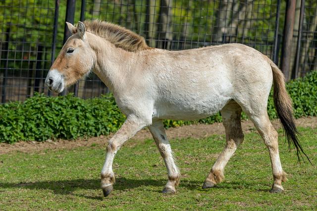 Tárik se narodila 6. 11. 2015 v Praze; je 227. hříbětem narozeným v Zoo Praha. Jejími rodiči jsou hřebec Len a klisna Hara, oba jsou k vidění ve výběhu v pražské zoo.