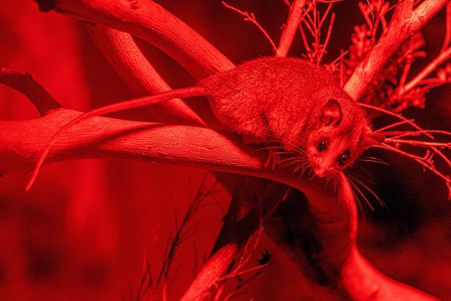 Vakoplch trpasličí v červeném světle nokturna v Healesville Sanctuary. Foto autor