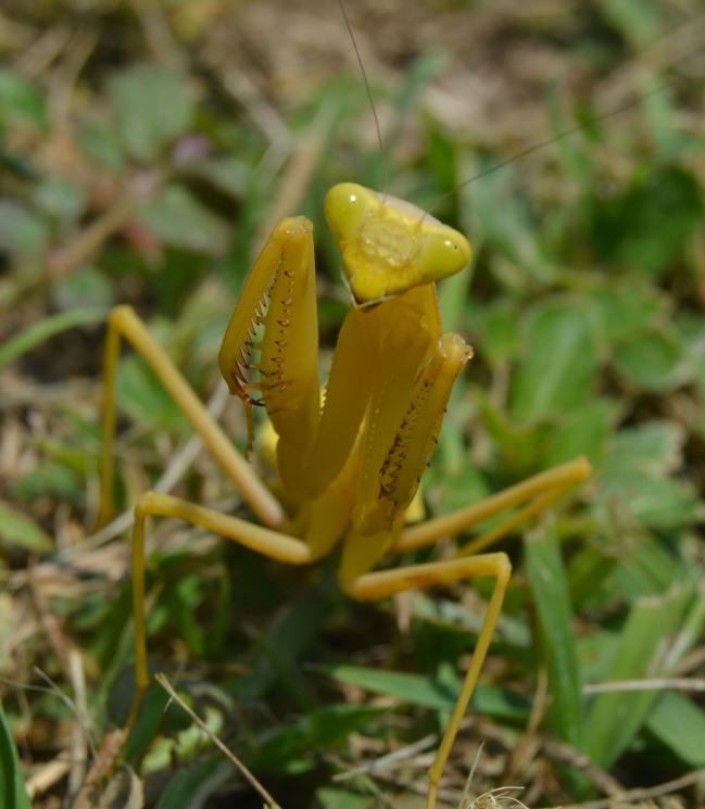 Žlutá kudlanka v Quiahuiztlan
