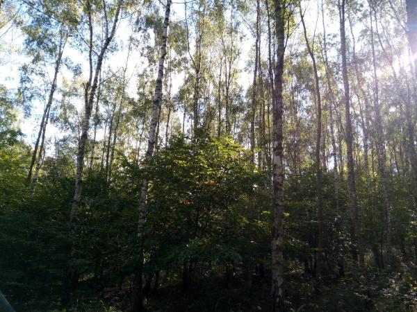 Foto 2: Přirozené zmlazení břízy, která plní funkci pionýrské, krycí dřeviny při zalesnění velkých kalamitních holin. Bříza je schopna zachránit lesní mikroklima, ochránit půdu a v jejím zástinu velice dobře prosperují stínomilné nebo polostinné hlavní dřeviny, jako je na obrázku z Francké hory v Českém středohoří porost břízy s bohatým podrostem buku lesního.