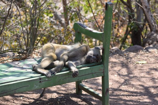 [Victoria Falls]Pavián si dává šlofíka na lavičce