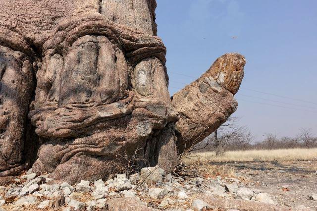 [20 km z od Nata]Výrazně potentní baobab