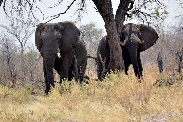 [65 km Z od Gweta]Sloni u silnice