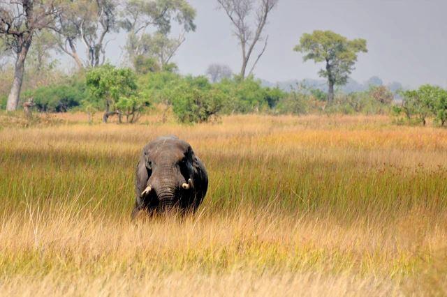 [Okavango Delta]Starý vůdce stáda, vyhnaný mladým sokem, je permanentně stresovaný, a tak po nás vyjel