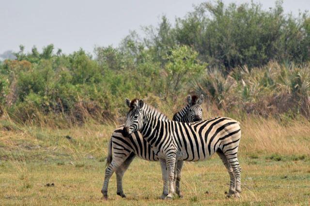 [Okavango Delta]Zebří kamarádky