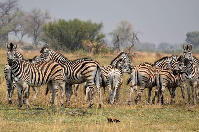 [Okavango Delta]Zebří stádo