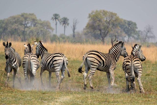 [Okavango Delta]Přišel jsem moc blízko, okamžitě vystartovaly
