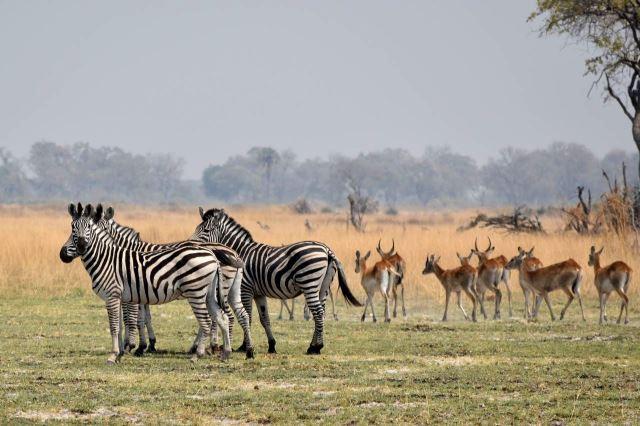 [Okavango Delta]Zebry si s antilopami nepřekáží