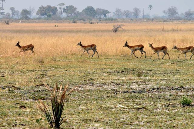 [Okavango Delta]Antilopy