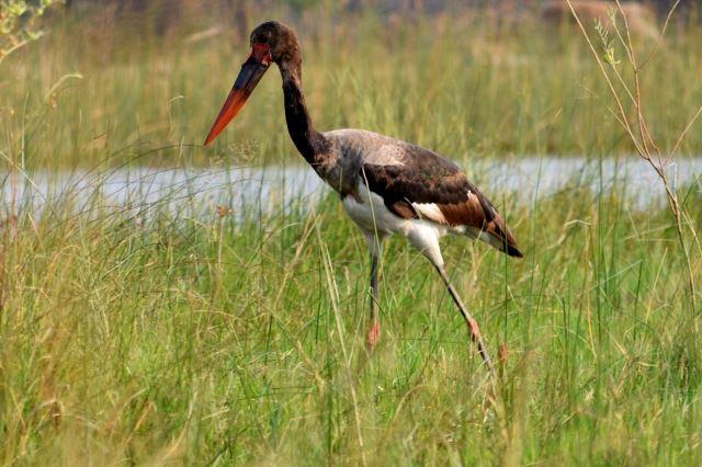 [Okavango Delta]Ptáky tady mají pořádné
