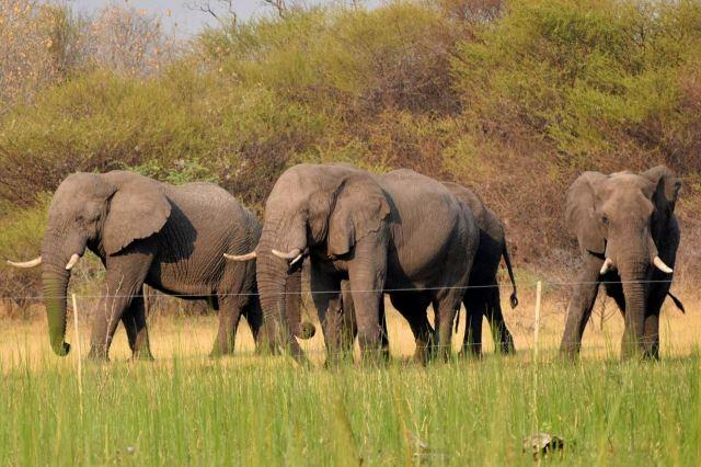 [Okavango Delta]Sloni za jednoduchý drátěný plot nejdou. Konečně mají tady prostory téměř neomezené.