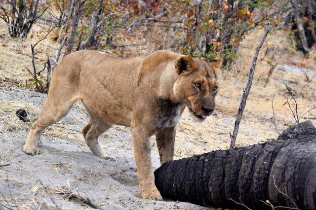 [Moremi Game Reserve]Snídaně je u konce, lvice odchází