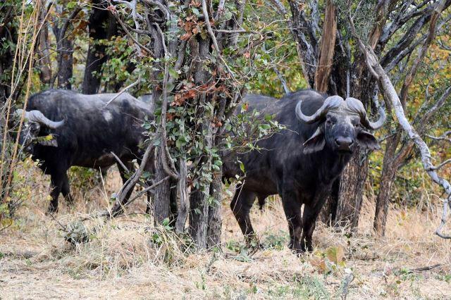 [Moremi Game Reserve]Párek buvolů