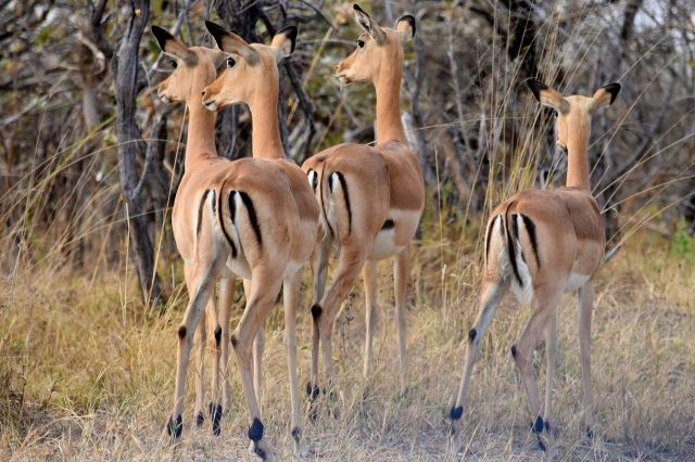 [Moremi Game Reserve] Impaly