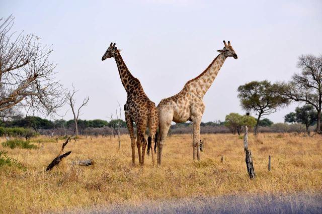 [Moremi Game Reserve]Žirafy jako obvykle pózují