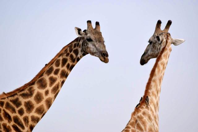 [Moremi Game Reserve]Ptáci na krku žiraf vyzobávají parazity