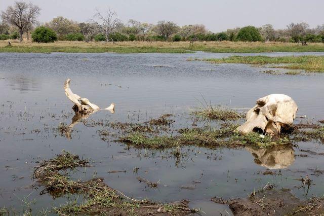 [Moremi Game Reserve]Zátiší se sloní lebkou