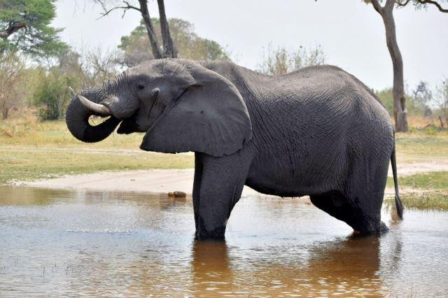 [Moremi Game Reserve]Slon se napájí