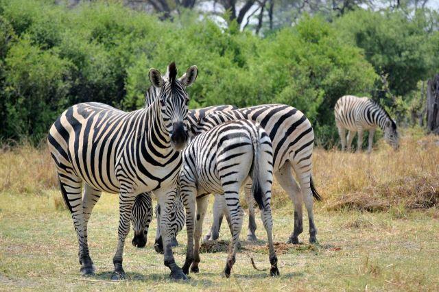 [Moremi Game Reserve]Zebry