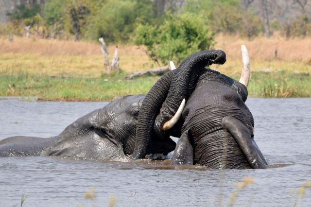 [Moremi Game Reserve]Sloní puberťáci se kočkují v řece