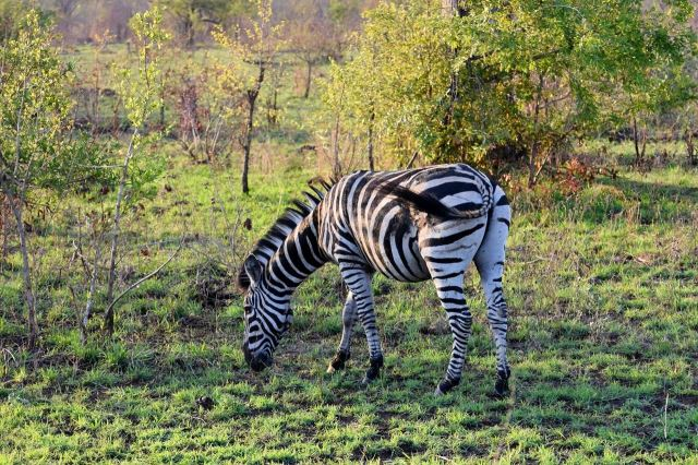 [Kruger National Park] Zebra