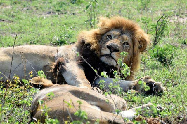 [Kruger National Park] Lev se právě probudil a kouká, která bije