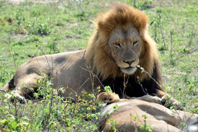 [Kruger National Park]Lev s lvicí)