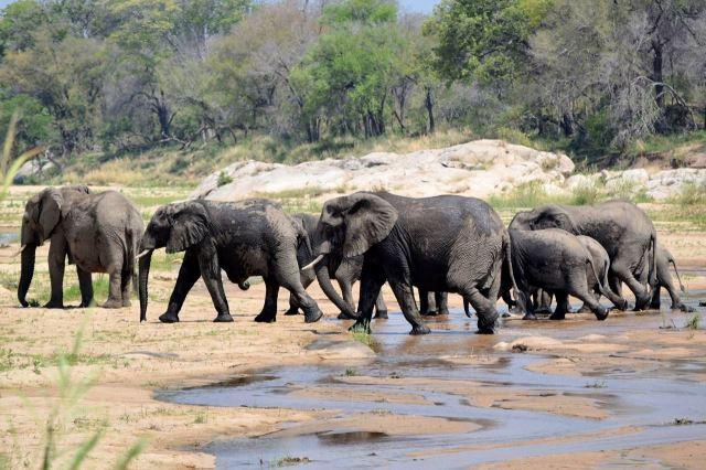 [Kruger National Park]Sloní stádo překračuje řeku