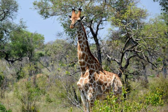 [Kruger National Park]Žirafa nás zvědavě pozoruje