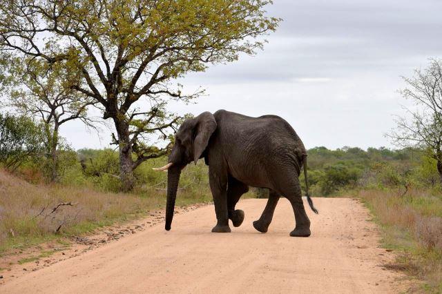[Kruger National Park]Slon blokuje provoz