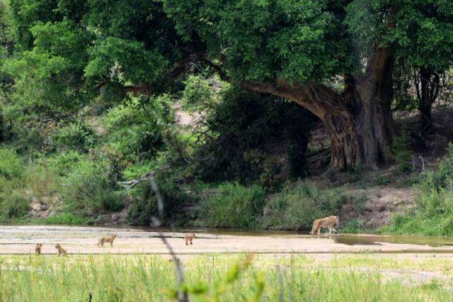 [Kruger National Park]Lvice přechází řeku - čtyři lvičata se loudají za ní