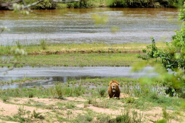 [Kruger National Park]Lev u řeky