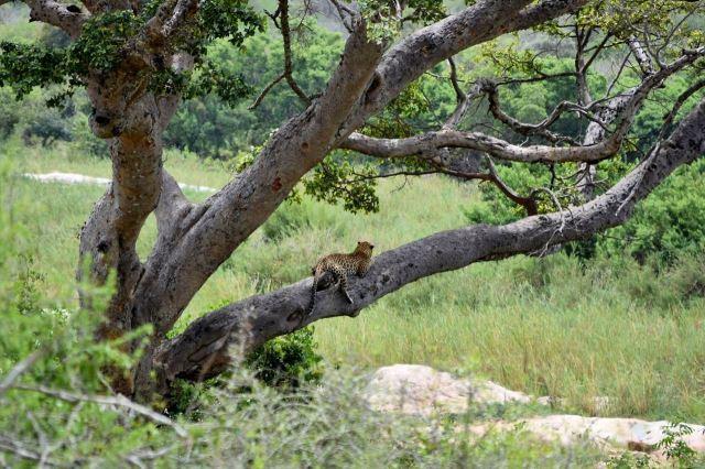 [Kruger National Park]Leopard na stromě
