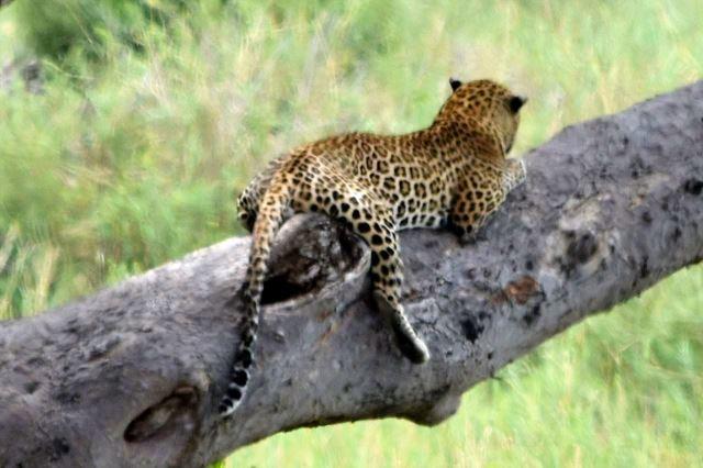 [Kruger National Park]Leopard na stromě - detail